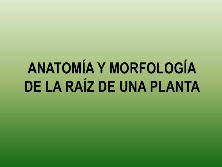 Anatomía y morfología de la Raíz de una planta.