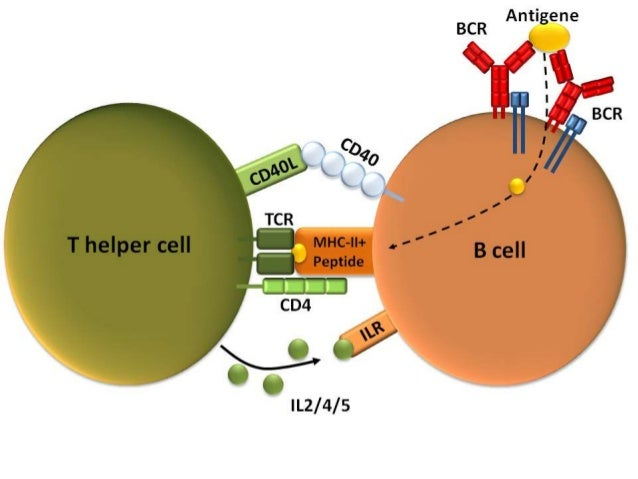 T CELL ACTIVATION AND IT'S TERMINATION