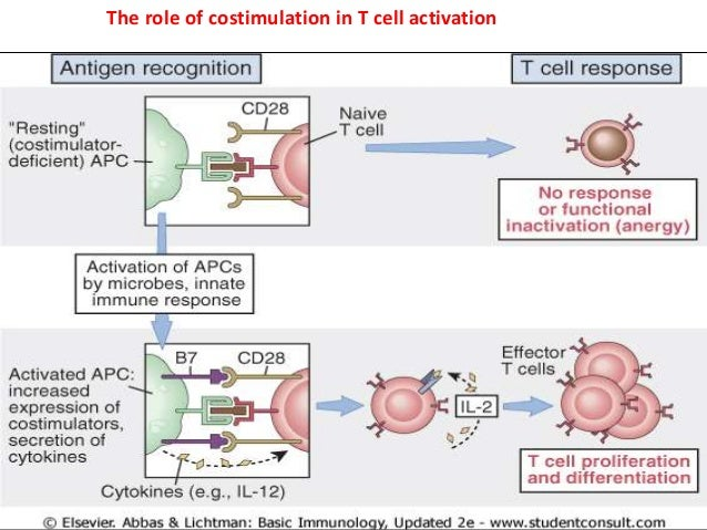 activation of naive t cells by dendritic cells