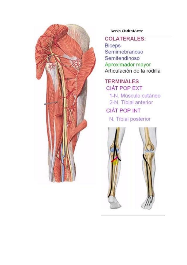 Ramas colaterales posteriores plexo sacro