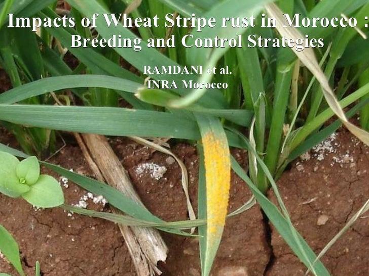 Impacts of Wheat Stripe rust in Morocco  :  Breeding and Control Strategies RAMDANI et al. INRA  Morocco