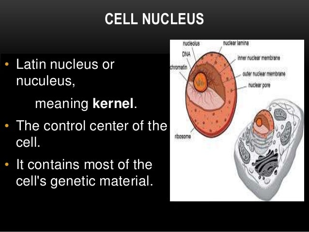 the discovery of the cell nucleus The nucleus is a highly specialized organelle that serves as the information processing and administrative center of the cell this organelle has two major functions: it stores the cell's hereditary material, or dna, and it coordinates the cell's activities, which include growth, intermediary .