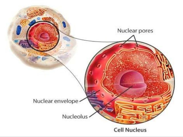 CELL NUCLEUS