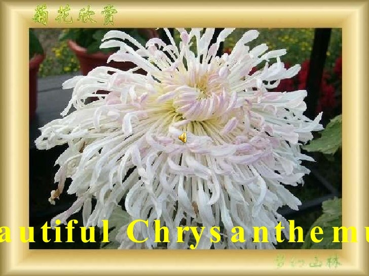 Beautiful Chrysanthemum