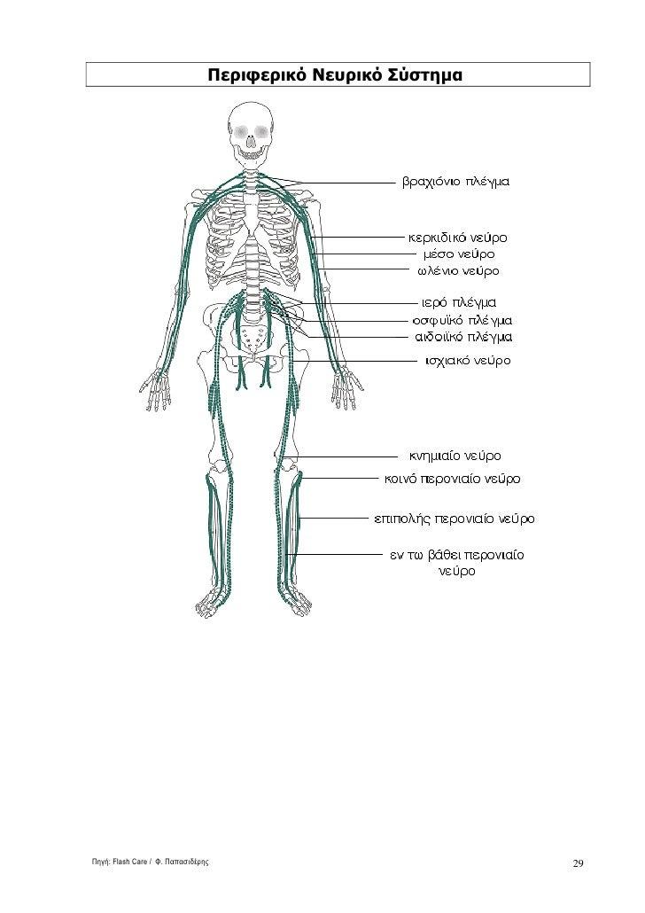 Περιφερικό Νευρικό Σύστηµα     Πηγή: Flash Care / Φ. Παπασιδέρης                            29