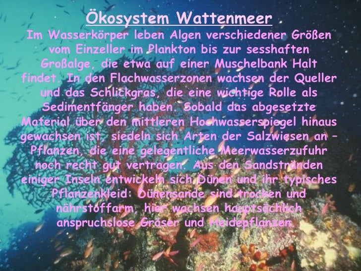 Ökosystem Wattenmeer Im Wasserkörper leben Algen verschiedener Größen vom Einzeller im Plankton bis zur sesshaften Großalg...