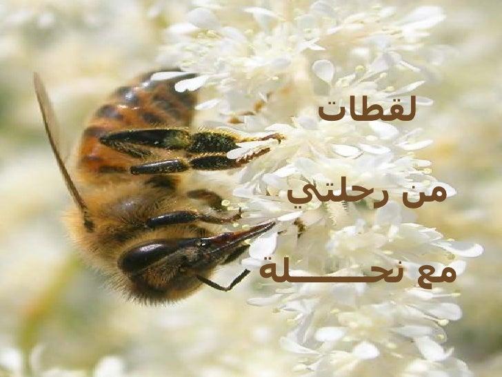 لقطات   من رحلتي  مع نحــــــــلة