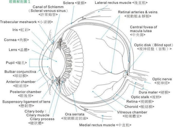 眼睛的調節 Slide 2
