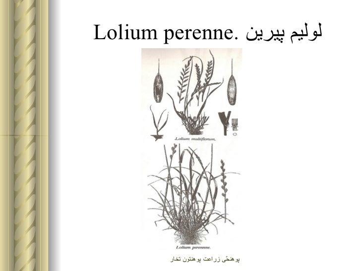 Gundelia tournefortii