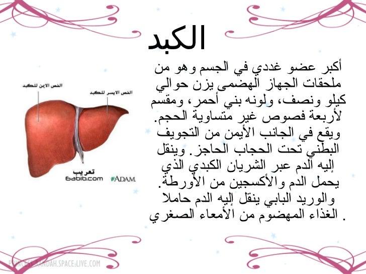 الكبد   أكبر عضو غددي في الجسم وهو من ملحقات الجهاز الهضمى يزن حوالي كيلو ونصف، ولونه بني أحمر، ومقسم لأربعة فصوص غير متسا...