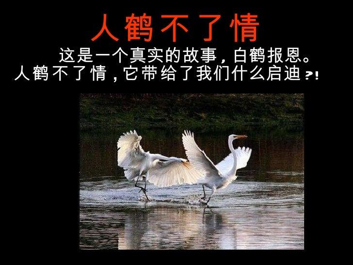 人鹤不了情 这是一个真实的故事 , 白鹤报恩。 人鹤不了情 , 它带 给了我们什么启迪 ?!