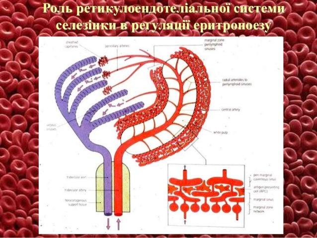 Роль ретикулоендотеліальної системи селезінки в регуляції еритропоезу
