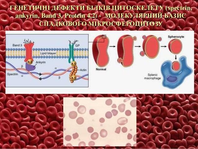 Розповсюдження D(-) алеля гена RHD у палеоліті