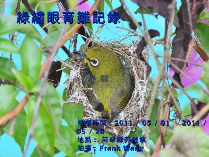 綠繡眼育雛記錄 拍攝 時間 : 2011 / 05 / 01 ~ 2011 / 05 / 28 地點 :  苗栗縣苑裡鎮 拍攝 : Frank Wang