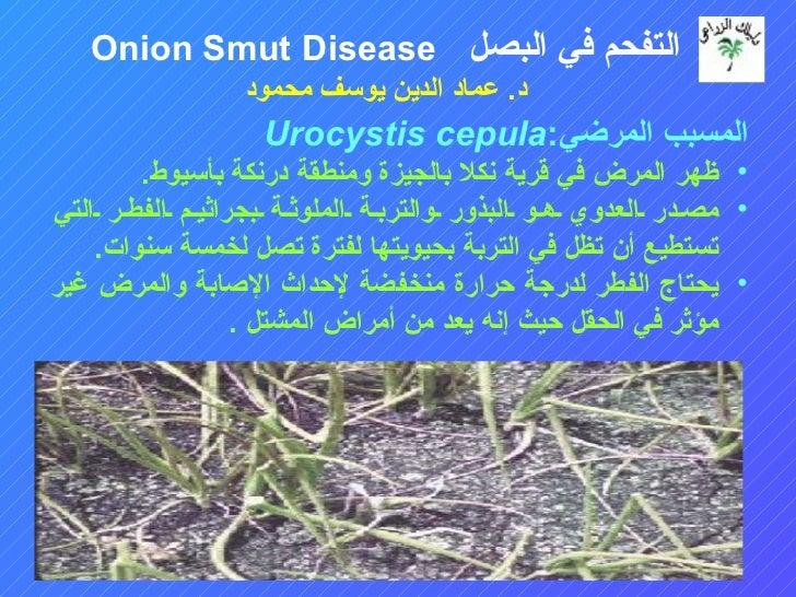 التفحم في البصل Onion Smut Disease                 د. عماد الدين يوسف محمود                   المسبب المرضي:Urocys...