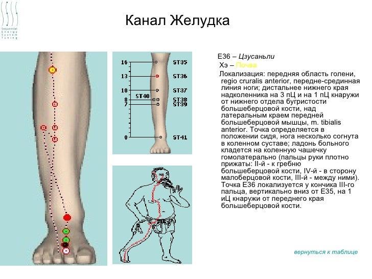Канал Желудка           Е36 – Цзусаньли           Хэ – Почва           Локализация: передняя область голени,            re...