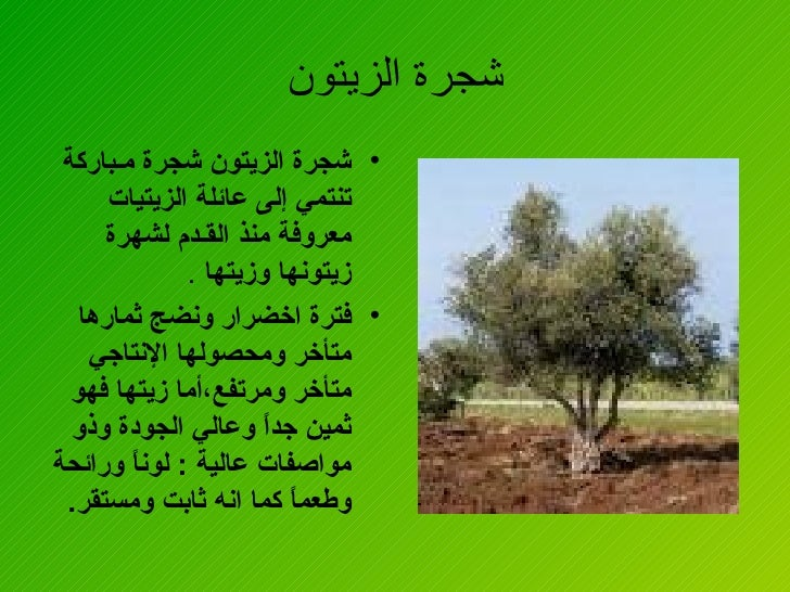 الزيتون فوائد شجرة