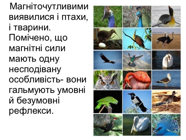 Магніточутливимивиявилися і птахи,і тварини.Помічено, щомагнітні силимають однунесподівануособливість- вонигальмують умовн...