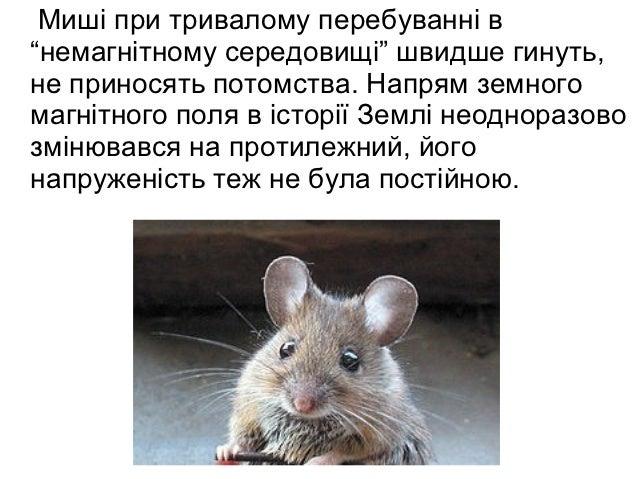 """Миші при тривалому перебуванні в""""немагнітному середовищі"""" швидше гинуть,не приносять потомства. Напрям земногомагнітного п..."""