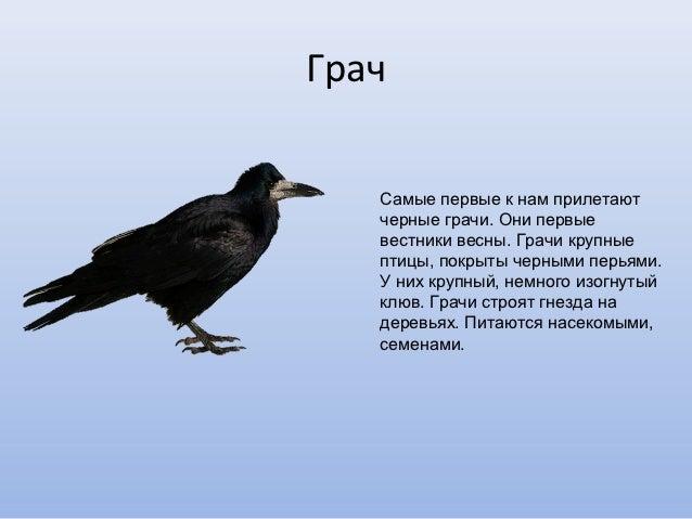 Грачи перелетные птицы доклад 8446