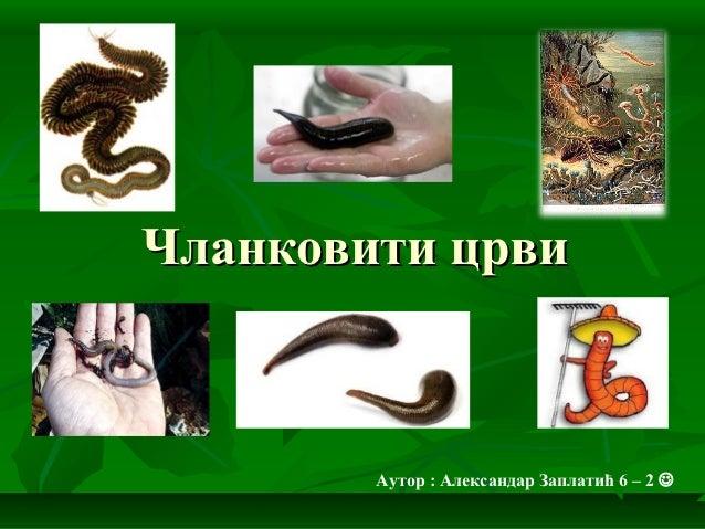 Чланковити црви        Аутор : Александар Заплатић 6 – 2 