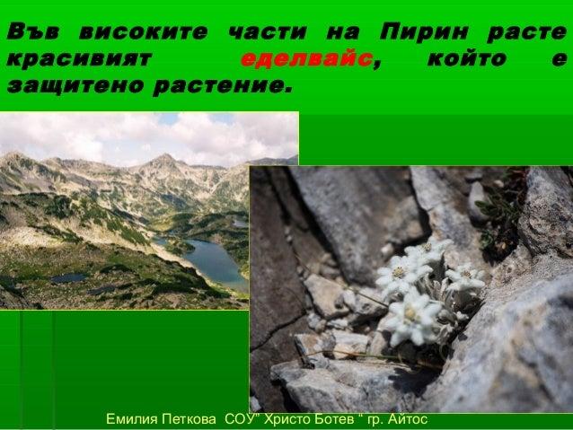 """Във високите части на Пирин растекрасивият     еделвайс,  който  езащитено растение.     Емилия Петкова СОУ"""" Христо Ботев ..."""