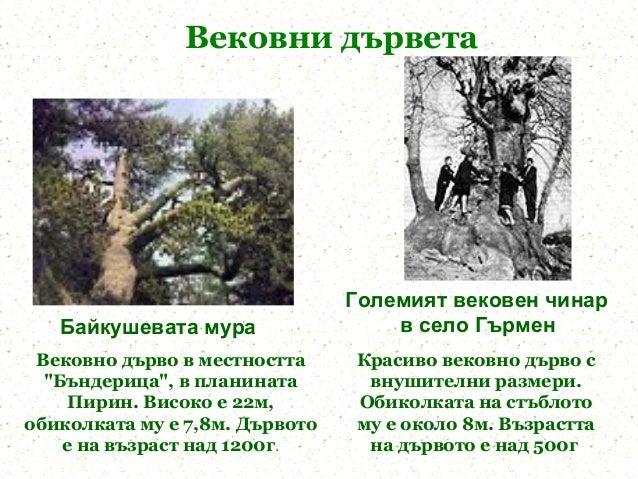 Вековни дървета                                Големият вековен чинар   Байкушевата мура                 в село Гърмен Век...