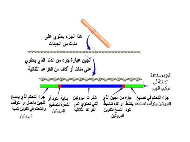 تصنيع البروتينات في الخلية