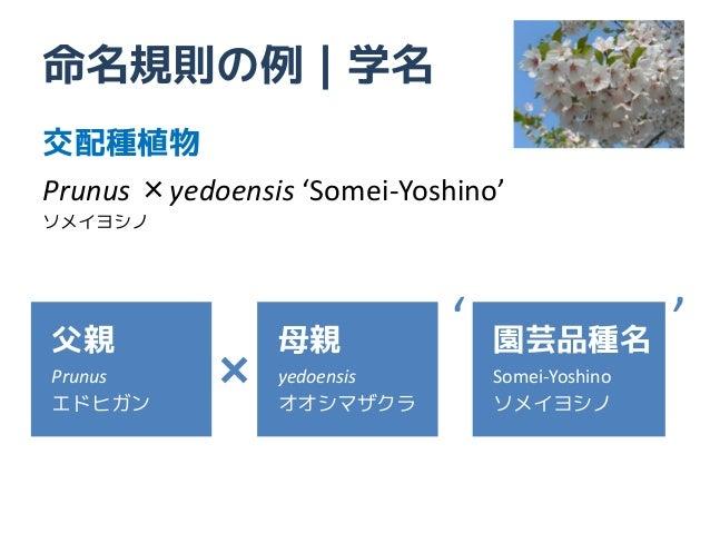 命名規則の例|学名交配種植物Prunus ×yedoensis 'Somei-Yoshino'ソメイヨシノ父親              母親           '   園芸品種名           'Prunus      ×   yed...