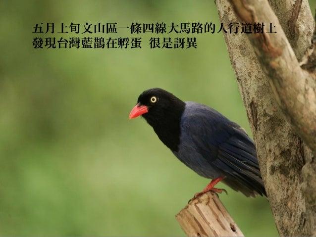 五月上旬文山區一條四線大馬路的人行道樹上發現台灣藍鵲在孵蛋 很是訝異