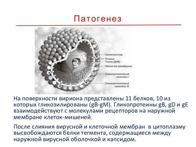 Патогенез Капсиды транспортируются к ядерным порам, где вирусная ДНК (вДНК) высвобождается из капсидов, проникает в ядро и...