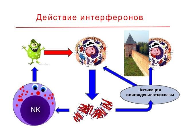 « »Хирургические личинки Иммунная система Calliphoridae синтезирует ряд мощных антимикробных факторов и содержит клетки, ф...