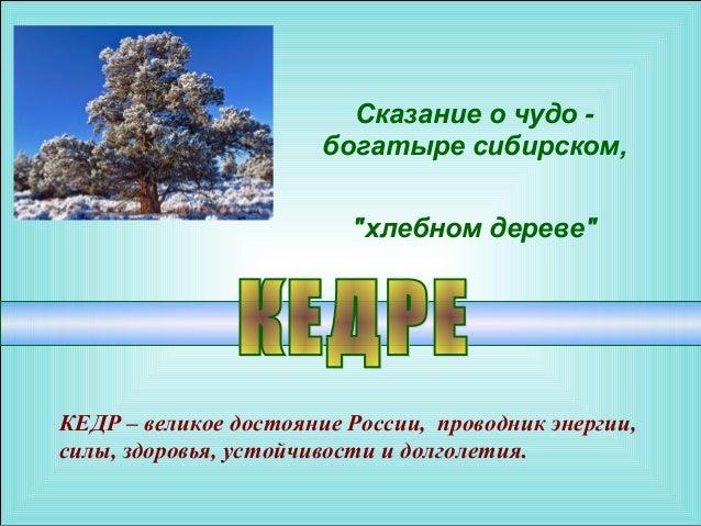 """Сказание о чудо -                       богатыре сибирском,                         """"хлебном дереве""""КЕДР – великое достоян..."""