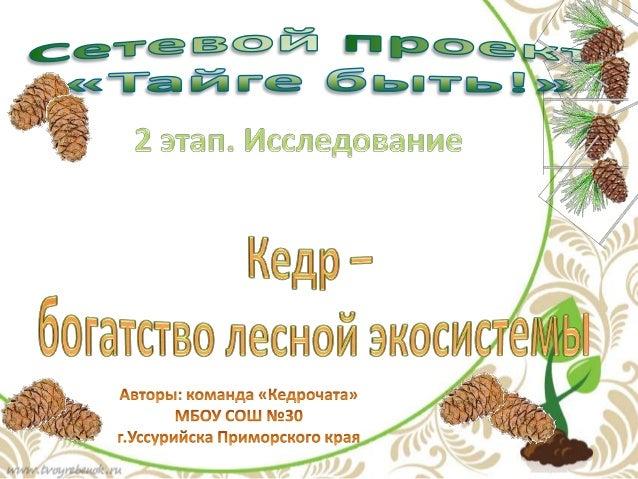 • В наших лесах произрастает кедр, который является  основным богатством Уссурийской тайги, но с  каждым годом его станови...
