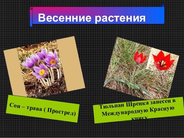 Весенние растения                                                      нвСон – тр                        Тюльпан Ш ренка з...