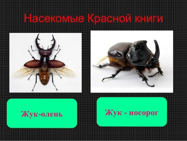 Насекомые Красной книгиЖук-олень    Жук - носорог