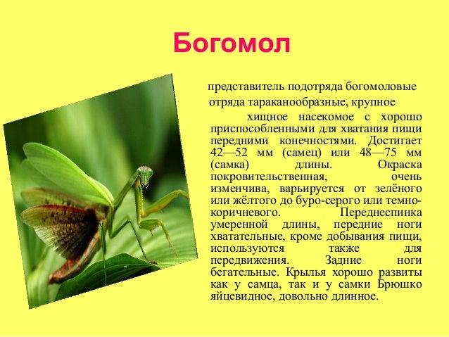 Богомол  представитель подотряда богомоловые  отряда тараканообразные, крупное         хищное насекомое с хорошо  приспосо...