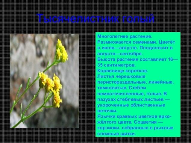 Тысячелистник голый         Многолетнее растение.         Размножается семенами. Цветёт         в июле—августе. Плодоносит...