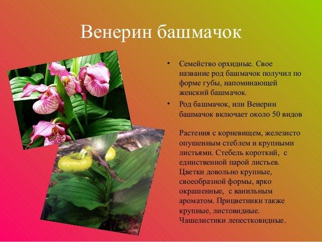 Венерин башмачок        •   Семейство орхидные. Свое            название род башмачок получил по            форме губы, на...