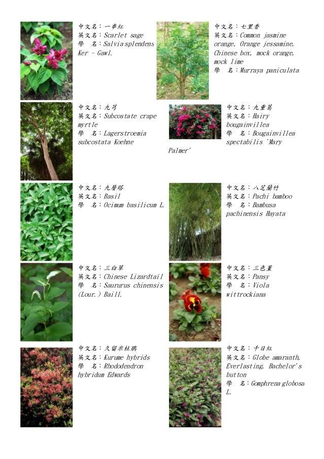 中文名:一串紅 英文名:Scarlet sage 學 名:Salvia splendens Ker - Gawl. 中文名:七里香 英文名:Common jasmine orange, Orange jessamine, Chinese box...