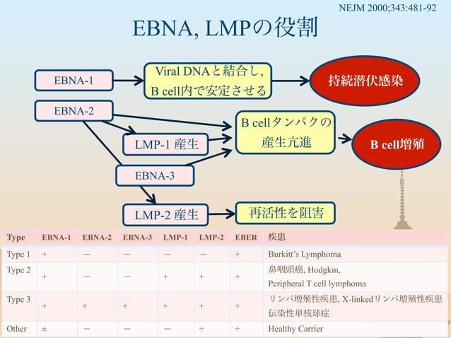 EBNA, LMPの役割 EBNA-1 EBNA-2 Viral DNAと結合し, B cell内で安定させる 持続潜伏感染 LMP-1 産生 LMP-2 産生 B cellタンパクの 産生亢進 B cell増殖 再活性を阻害 EBNA-3 T...