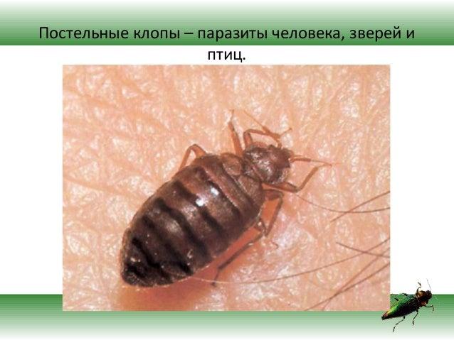 насекомые паразиты человека клещ