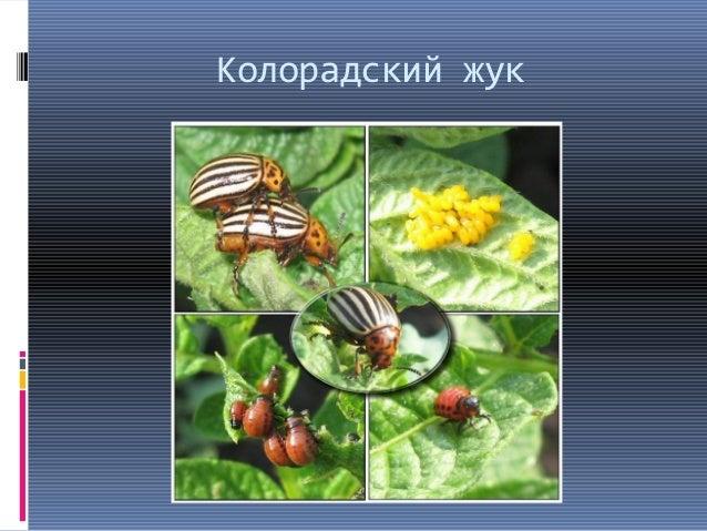 насекомые вредители человека и животных
