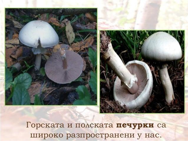 Горската и полската печурки са широко разпространени у нас.