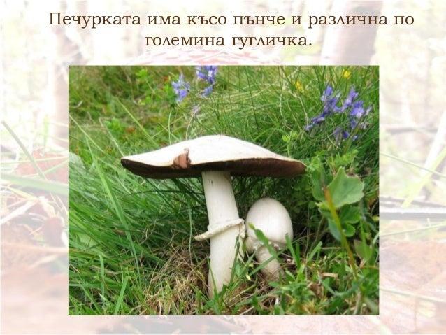 Печурката има късо пънче и различна по големина гугличка.