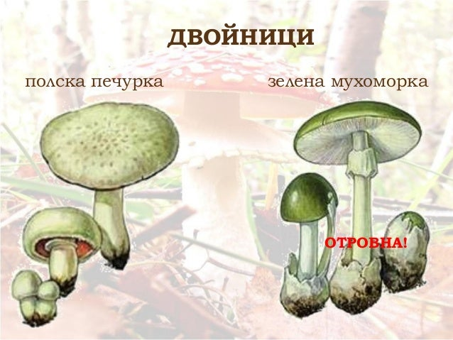 полска печурка зелена мухоморка ДВОЙНИЦИ ОТРОВНА!