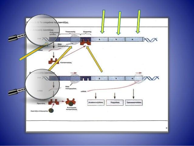 Η γονιδιακή ρύθμιση στους προκαρυωτικούς οργανισμούς Στο οπερόνιο της λακτόζης περιλαμβάνονται εκτός από τα δομικά γονίδια...