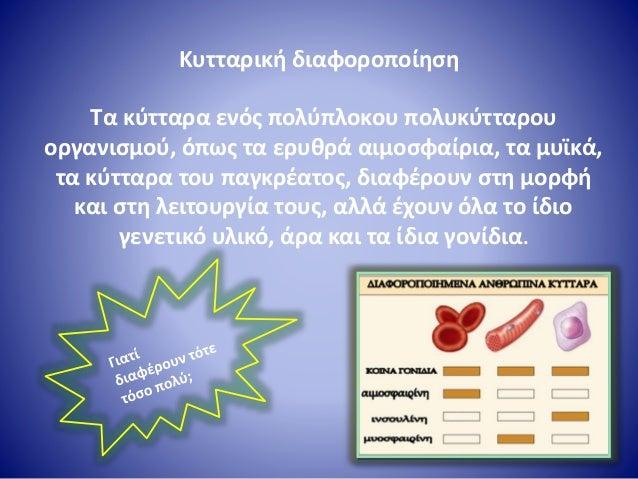 Kυτταρική διαφοροποίηση Τα κύτταρα ενός πολύπλοκου πολυκύτταρου οργανισμού, όπως τα ερυθρά αιμοσφαίρια, τα μυϊκά, τα κύττα...