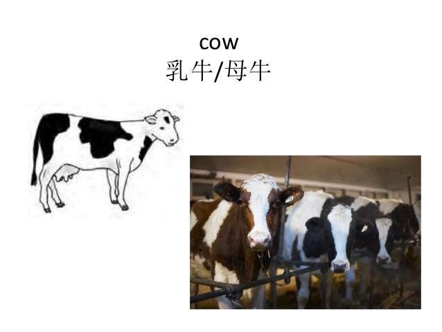 cow 乳牛/母牛