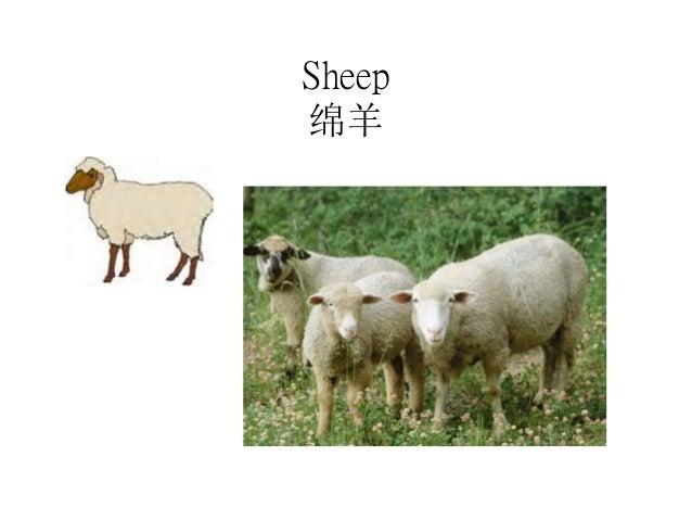 Sheep 绵羊